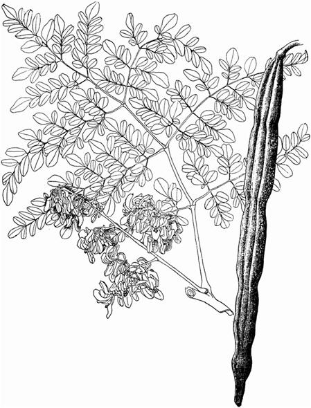 Moringa——美国国家工程院关于「辣木」的记载 辣木文献
