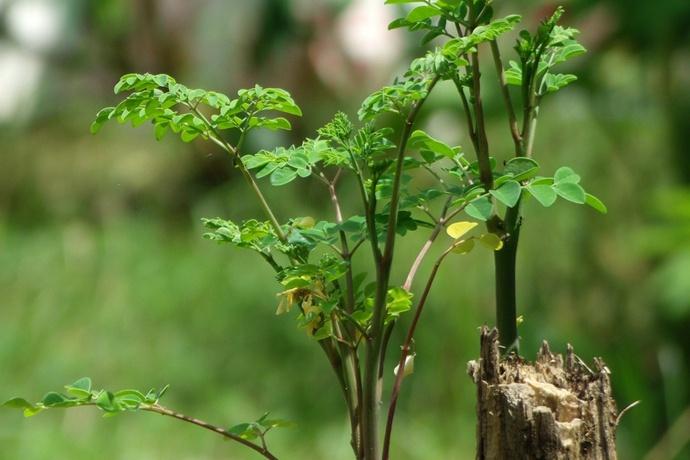 圣经纪载的奇迹,上帝恩赐的良方 认识辣木