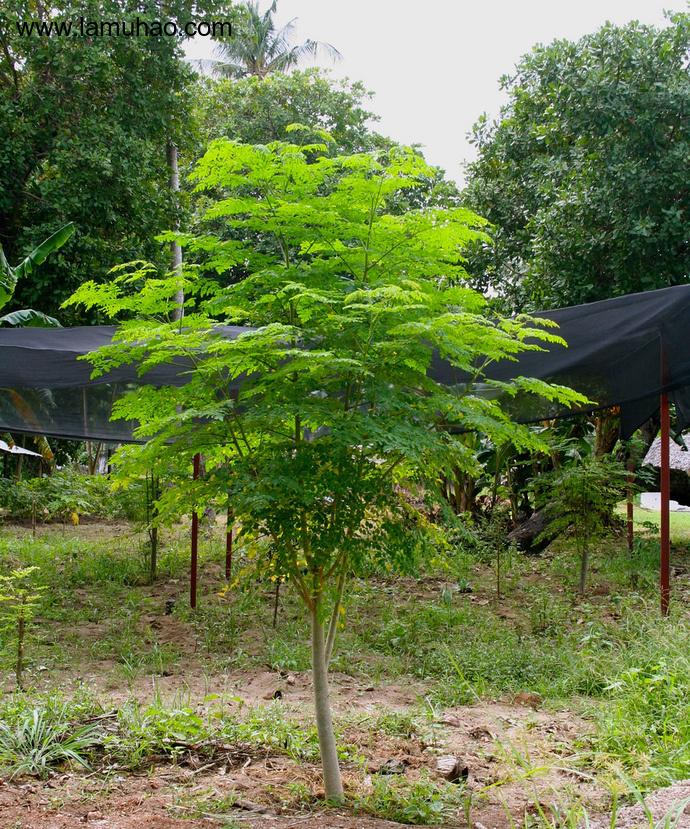 辣木树品种最全面的介绍 辣木树