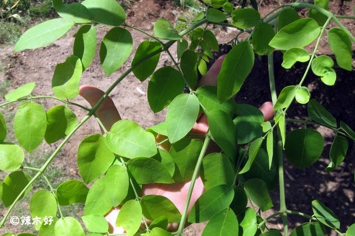 非洲辣木生长习性介绍 辣木树