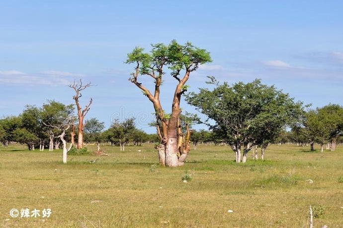 非洲辣木的功效与作用