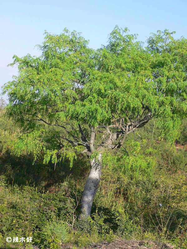 非洲辣木的功效与作用 辣木树