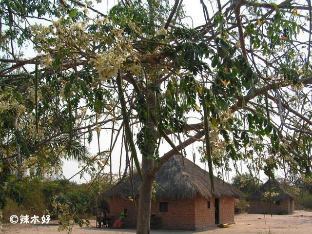 赞比亚:辣木作为食物、药物、饲料的用途 辣木种植