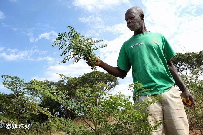 赞比亚:辣木作为食物、药物、饲料的用途