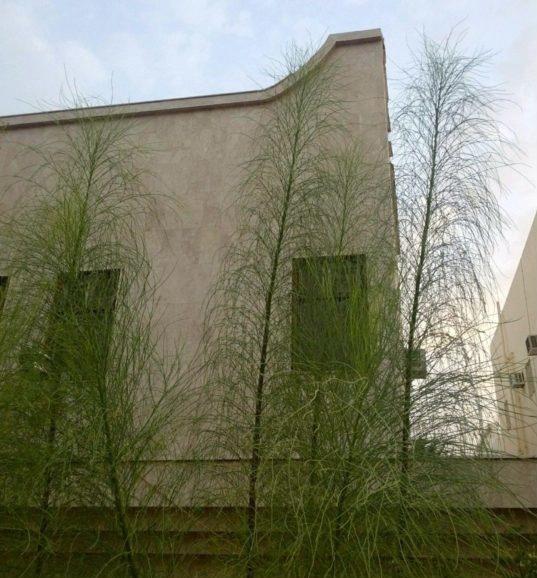 食用品种:阿拉伯辣木简介(Moringa peregrina) 辣木种植