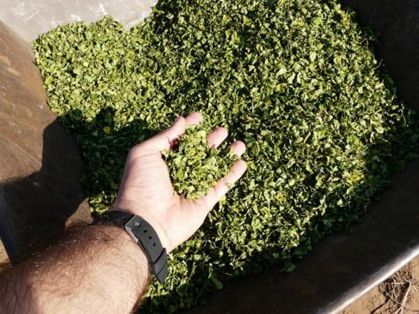 巴拉圭辣木干叶的出口量 2015 年暴增四倍 辣木种植