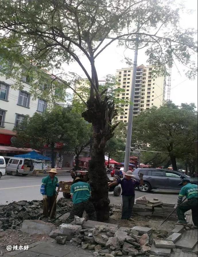中国云南芒市百年辣木古树