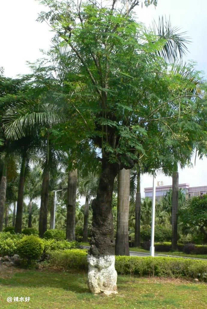 辣木古树移栽至芒市宾馆后