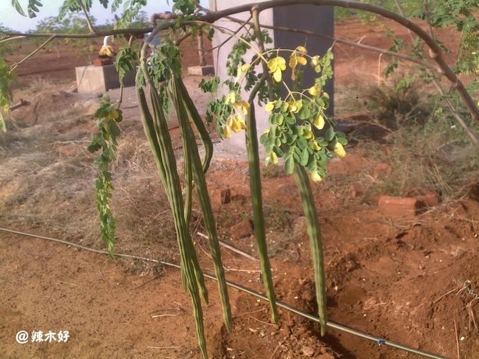 印度辣木树品种和 PKM-1、PKM-2 之间的差别 认识辣木