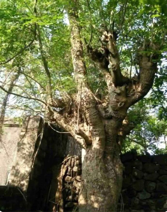 中国原产辣木栽培年代比「引种印度辣木」早八百年 辣木文献