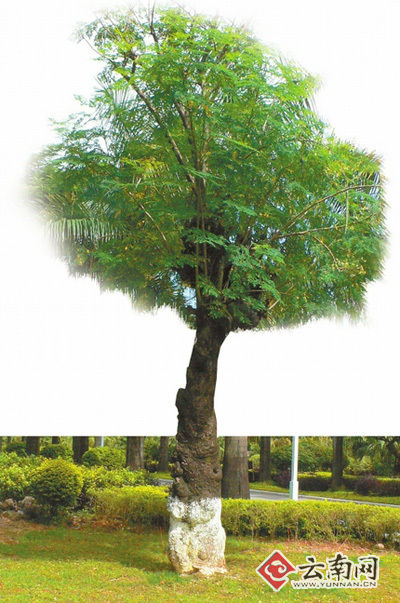 解培惠:把辣木变成未来的粮食(云南网) 中国辣木