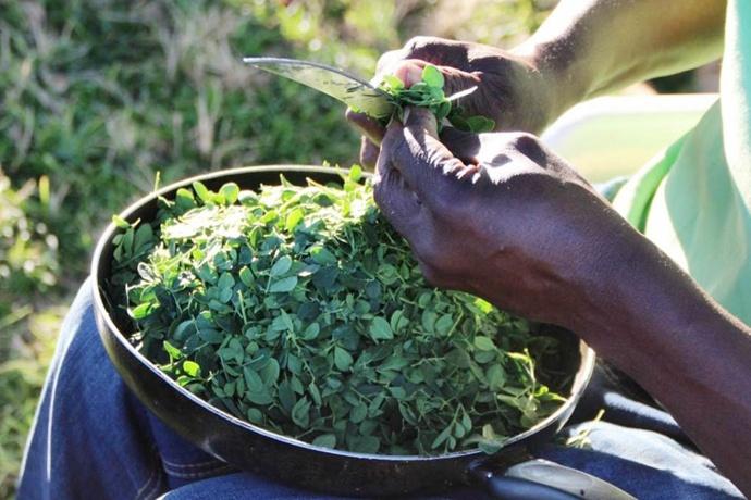 辣木有什么好?能让赞比亚开启百万辣木植树运动 辣木种植