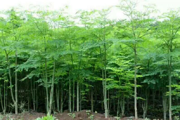 三江大峡谷高富硒辣木的特别优势