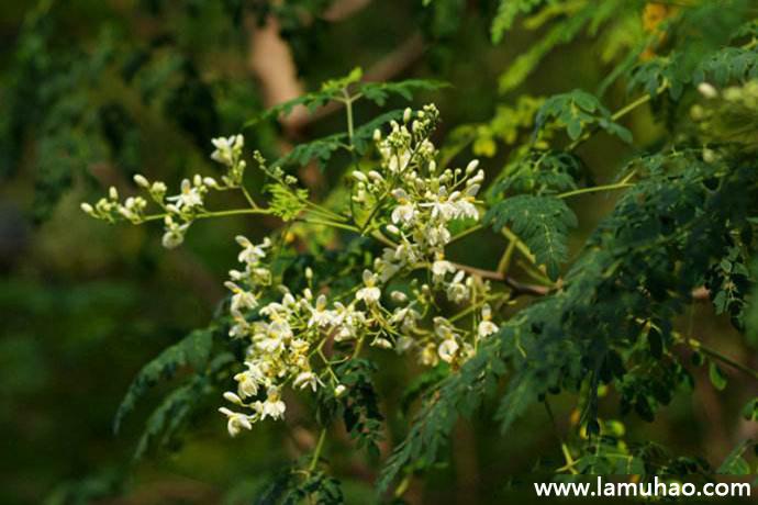 辣木是一种什么样的树,它有什么用? 辣木树