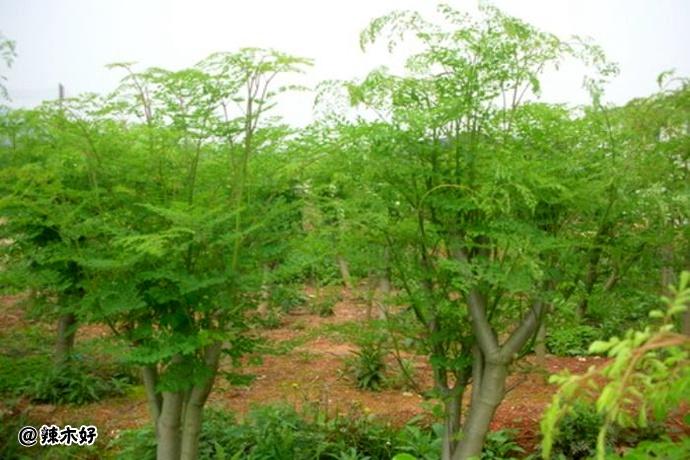 辣木的栽培密度和管理对生长有哪些影响?