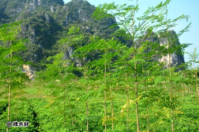 台湾辣木市场情况介绍,台湾对辣木的看法