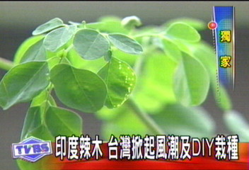 印度来的辣木,种植和食用在台湾很流行