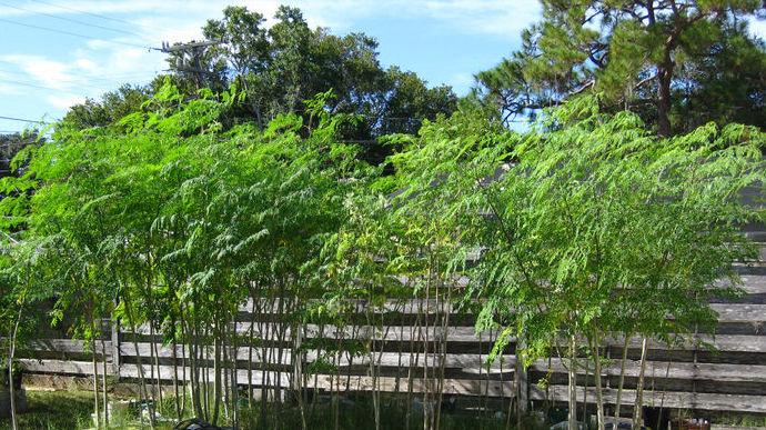 种植辣木树应知应会 辣木种植