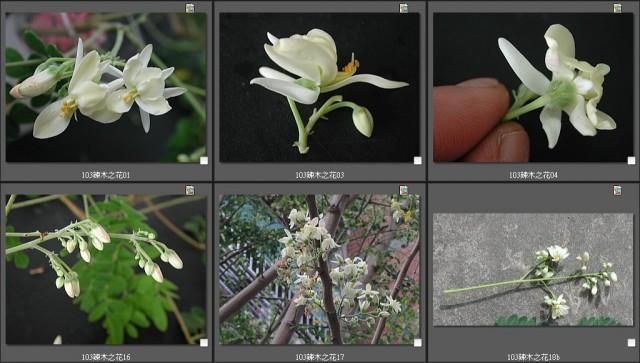 细赏辣木之花 辣木花