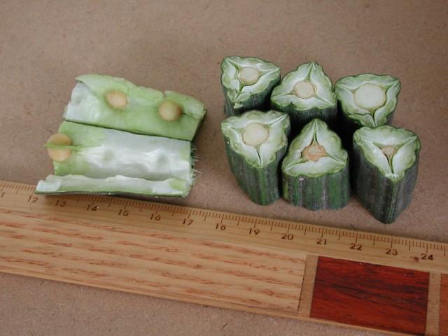 辣木之果实与种子,全过程解析 辣木籽