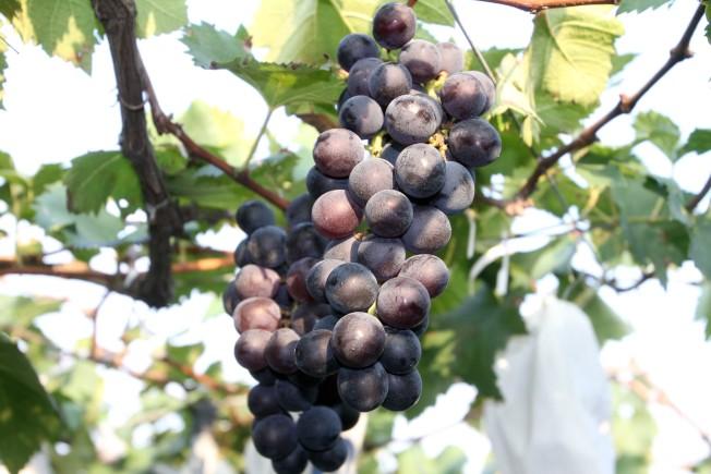 吃葡萄有什么好处?竟然能改善视力增强记忆... 健康百科