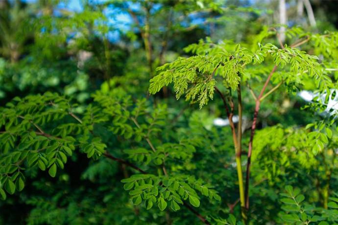 探讨印度辣木之生物活性|辣木固醇分子细胞作用研究