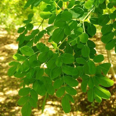 探讨印度辣木之生物活性|辣木固醇分子细胞作用研究 辣木文献