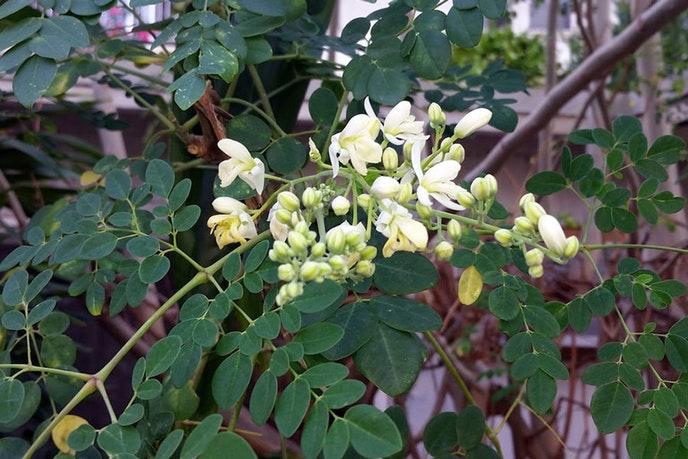 食源性疾病全球肆虐,辣木花或将成为植物天然防腐剂 健康百科
