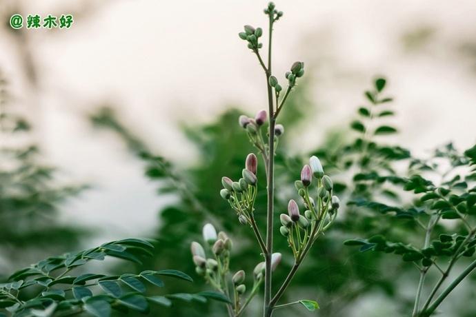 辣木:使水变甜的树