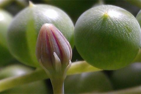 佛珠吊兰的养殖方法,佛珠吊兰要怎么养才能快点出锦