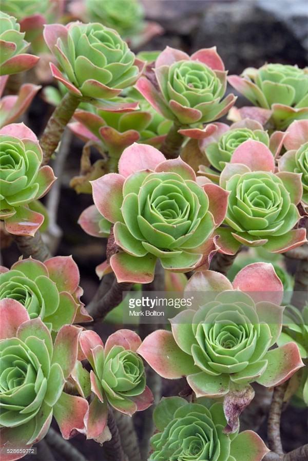 【多肉品种2】景天科莲花掌属多肉植物相思染