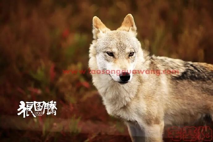 最新电影推荐「狼图腾」豆瓣影评:狼演得真好,驯兽师辛苦了