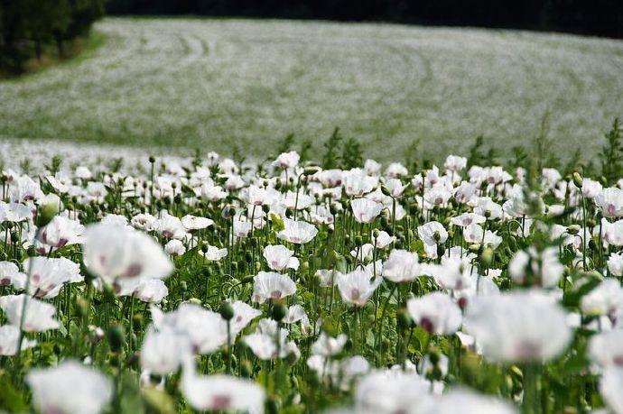 poppies-6466826__480