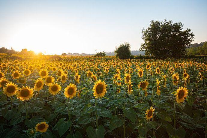 sunflowers-6007847__480
