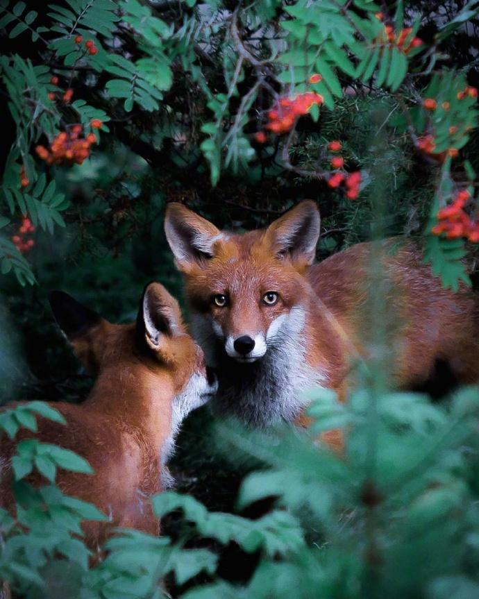 摄影师用镜头捕捉芬兰森林里的小动物们