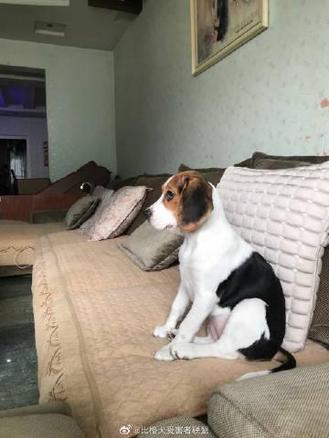 萌宠图片#读者来狗# 乖乖在沙发上看电视...-萌宠