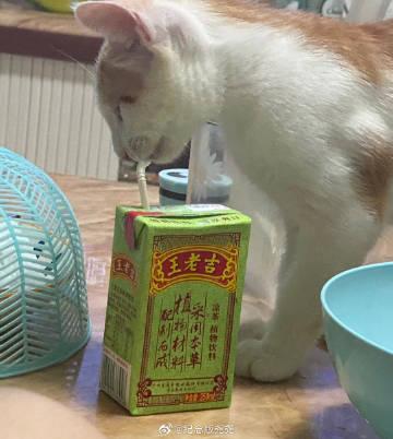 萌宠图片小猫也要喝王老吉-萌宠