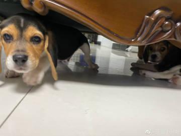 沙发底下的恶犬