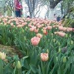 合肥植物园郁金香:4月中上旬为最佳观赏期